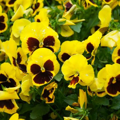 Maceška zlatožlutá Firnengold - Viola wittrockiana - osivo macešky - 200 ks
