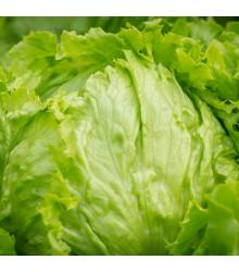 BIO salát ledový Saladin - Lactuca sativa - bio osivo salátu - 0,1 g