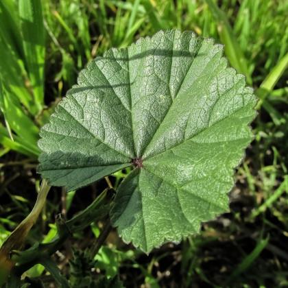 Sléz přeslenitý - Malva verticillata - osivo slézu - 150 ks
