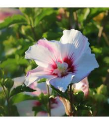 Ibišek syrský bílý - Hibiscus syriacus - prodej semen ibišku - 12 ks