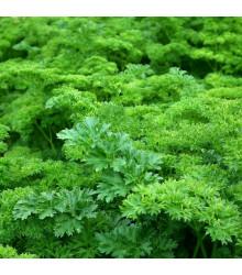 Petržel zahradní naťová kudrnka - Petroselinum crispum convar. vulgare - osivo petržele - 700 ks