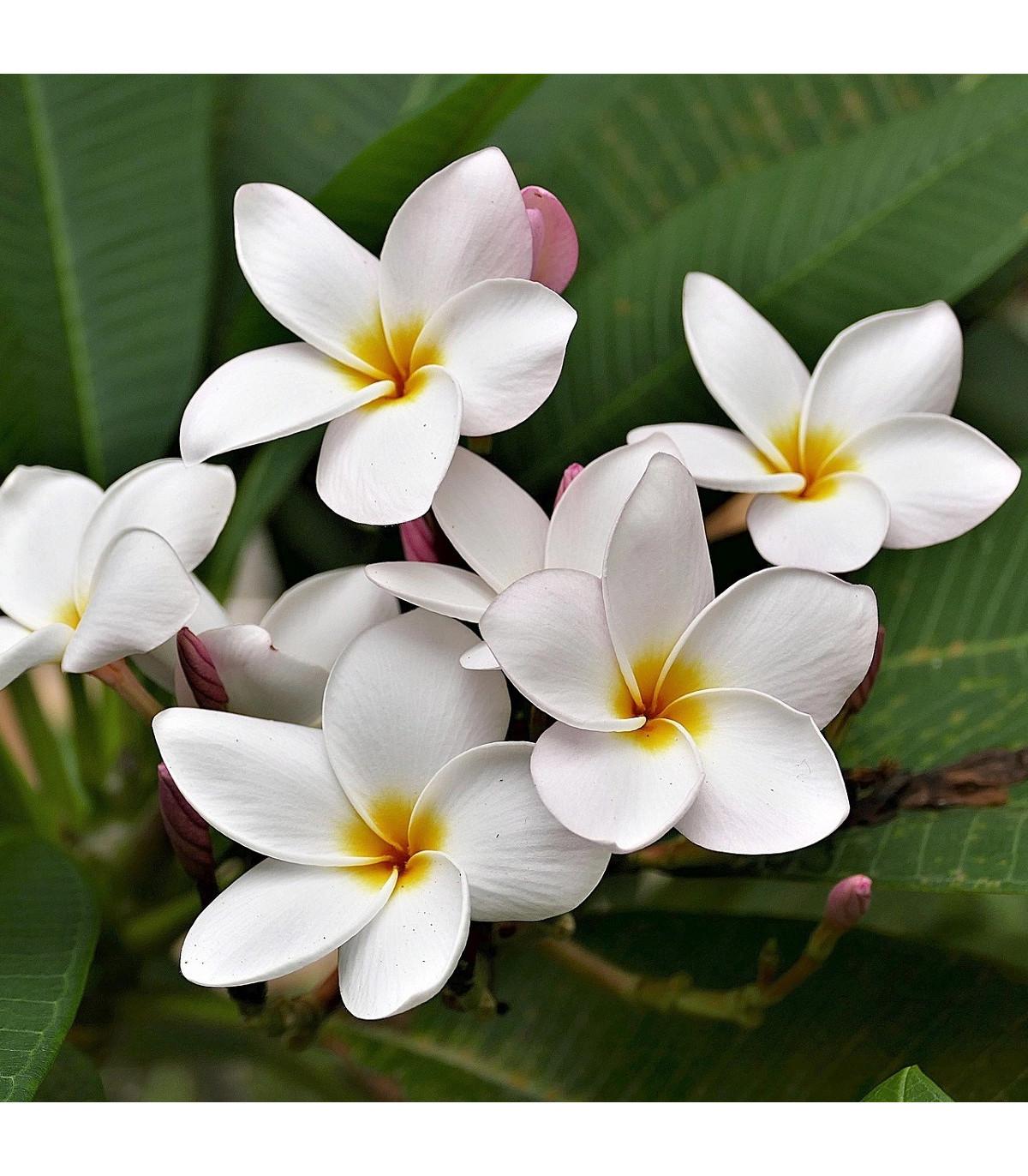 Plumérie- Havajská květina- semena- 3 ks