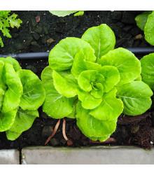 Salát Safír - salát k rychlení - Lactuca sativa - osivo salátu - 400 ks