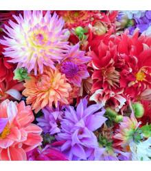 Jiřinka proměnlivá Unwin směs barev - Dahlia variabilis - osivo jiřinek - 65 ks
