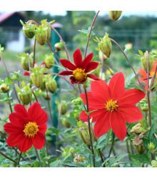 Jiřinka proměnlivá Mignon směs barev - Dahlia variabilis -  osivo jiřinek - 20 ks