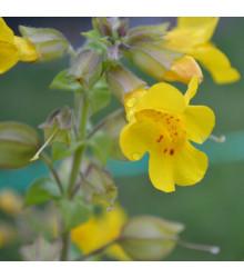 Kejklířka žlutá - Mimulus luteus - semena - 200 ks