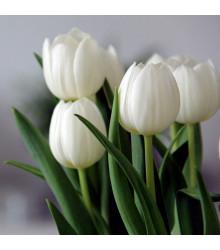 Tulipán Clearwater - Tulipa - cibule tulipánů - 3 ks