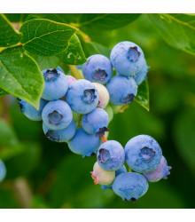 Borůvka americká modrá - Vaccinium corymbosum - prostokořenné sazenice borůvek - 1 ks