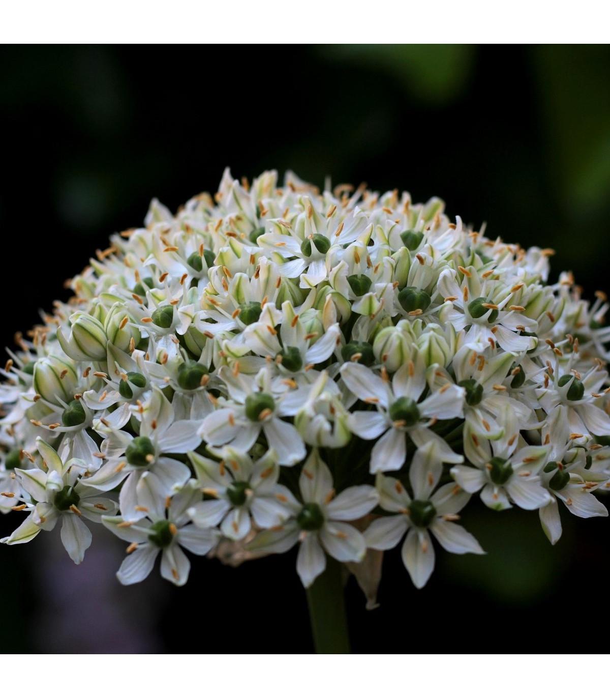 Česnek okrasný černý - Allium nigrum - cibule česneku - 2 ks