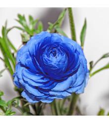 Pryskyřník modrý - Ranunculus asiaticus - cibule pryskyřníku - 3 ks