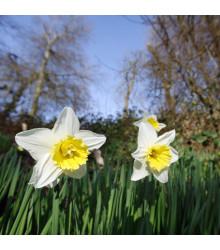 Narcis Pueblo - Narcissus - cibule narcisů - 3 ks