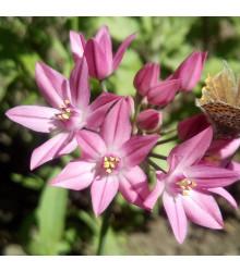 Česnek vysokohorský - Allium oreophillum - cibule česneku - 3 ks