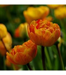 Tulipán Sunlover - Tulipa - cibule tulipánů - 3 ks