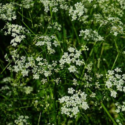 Kerblík setý - Anthriscus cerefolium - semena kerblíku - 250 ks