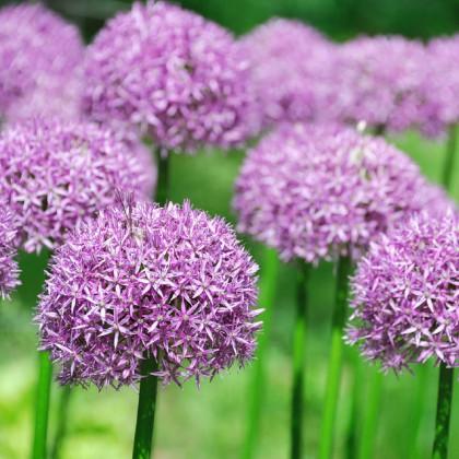Česnek okrasný - Allium Purple Sensation - cibule česneku - 3 ks