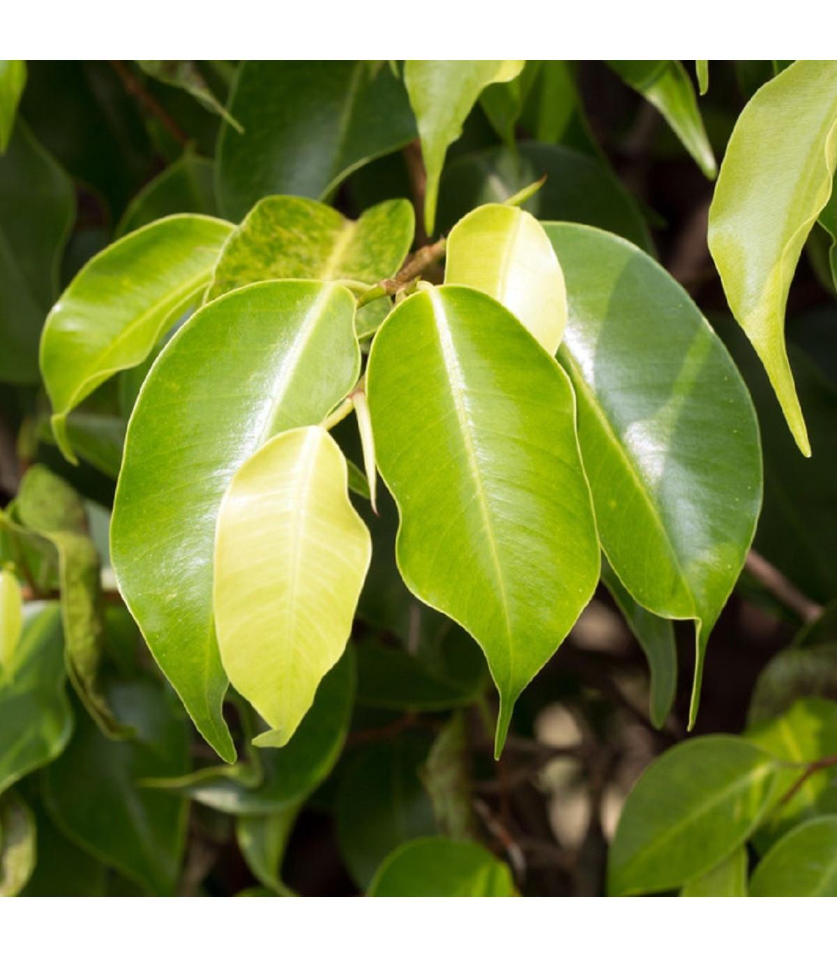 Fíkus Benjamín - Ficus benjamina - semena Fíkusu - 4 ks