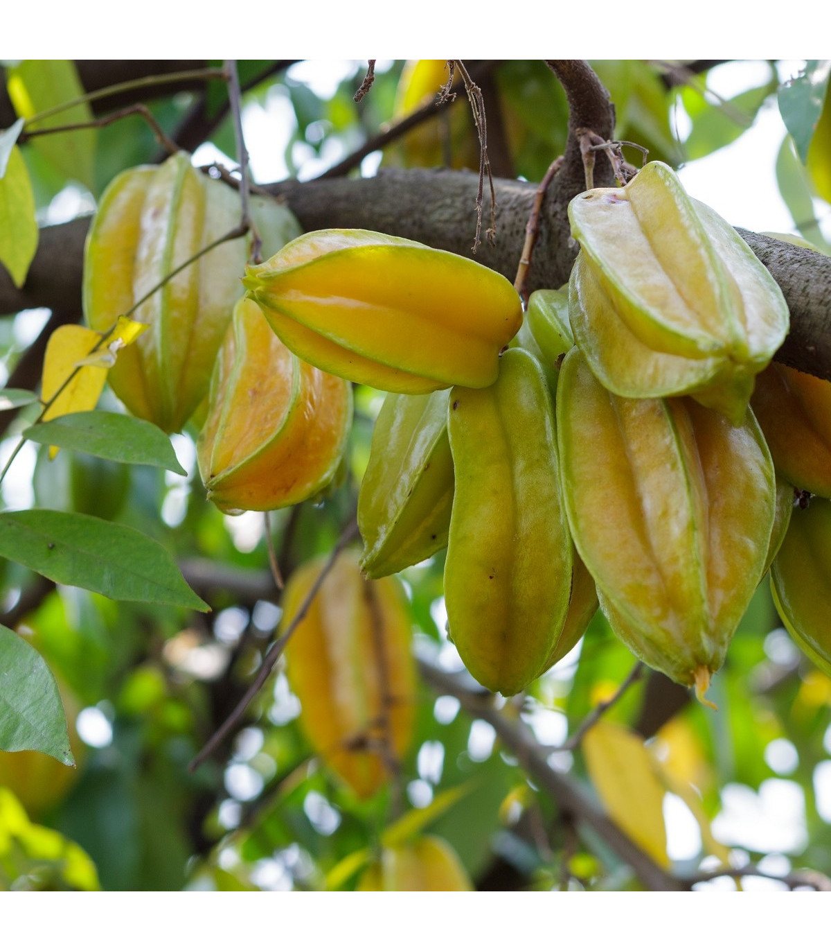 Karambola - Čínská hvězdice - Averrhoa carambola - osivo karamboly - 5 ks