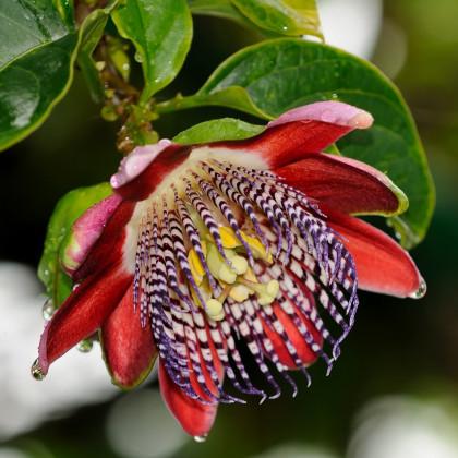 Mučenka čtyřhraná - Passiflora quadrangularis - osivo mučenky - 4 ks