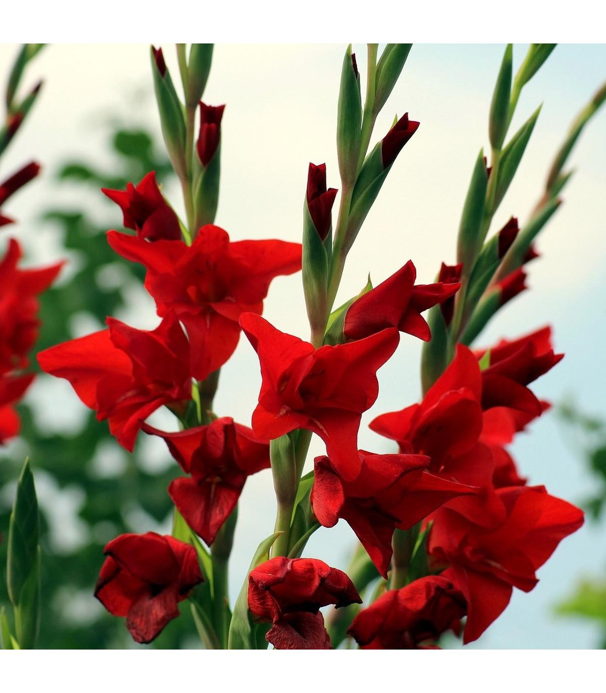 Gladiol červený Hunting song - Gladiolus - hlízy mečíků - 3 ks