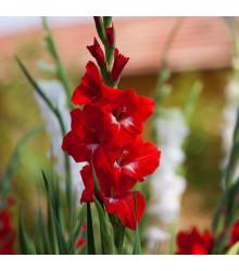 Mečík Nanus Mirela - Gladiolus - hlízy mečíků - 3 ks