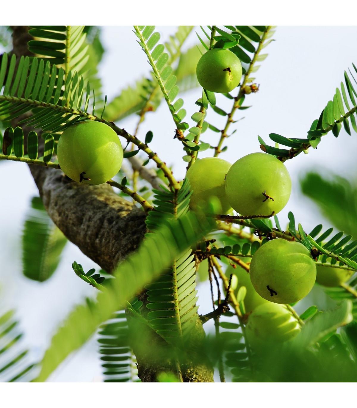 Indický Angrešt - Phyllanthus emblica - osivo indického angreštu - 8 ks