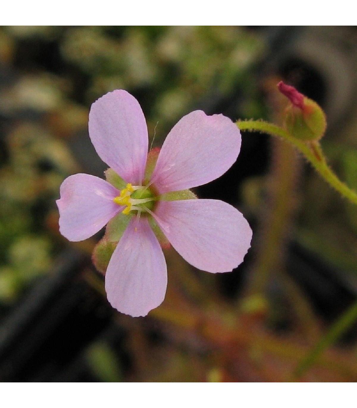 Rosnatka - Drosera dielsiana - semena - 15 ks