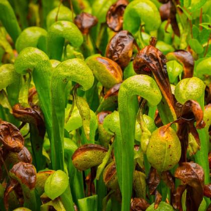 Darlingtonie kalifornská - Darlingtonia california - semena darlingtonie - 12 ks