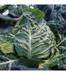 Kapusta Raná žlutá - Brassica oleracea - semena kapusty - 150 ks