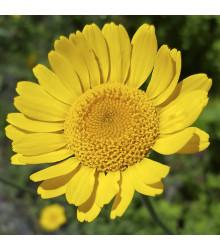Kopretina osenní Helios - chrysanthemum segetum - osivo kopretiny - 100 ks
