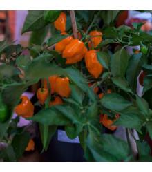 BIO chilli Habanero oranžové - Capsicum chinense - bio osivo chilli - 6 ks