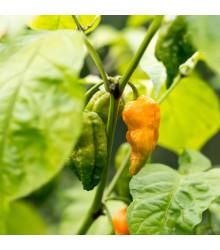 Chilli Bhut Jolokia žluté - Capsicum chinense - osivo chilli - 5 ks