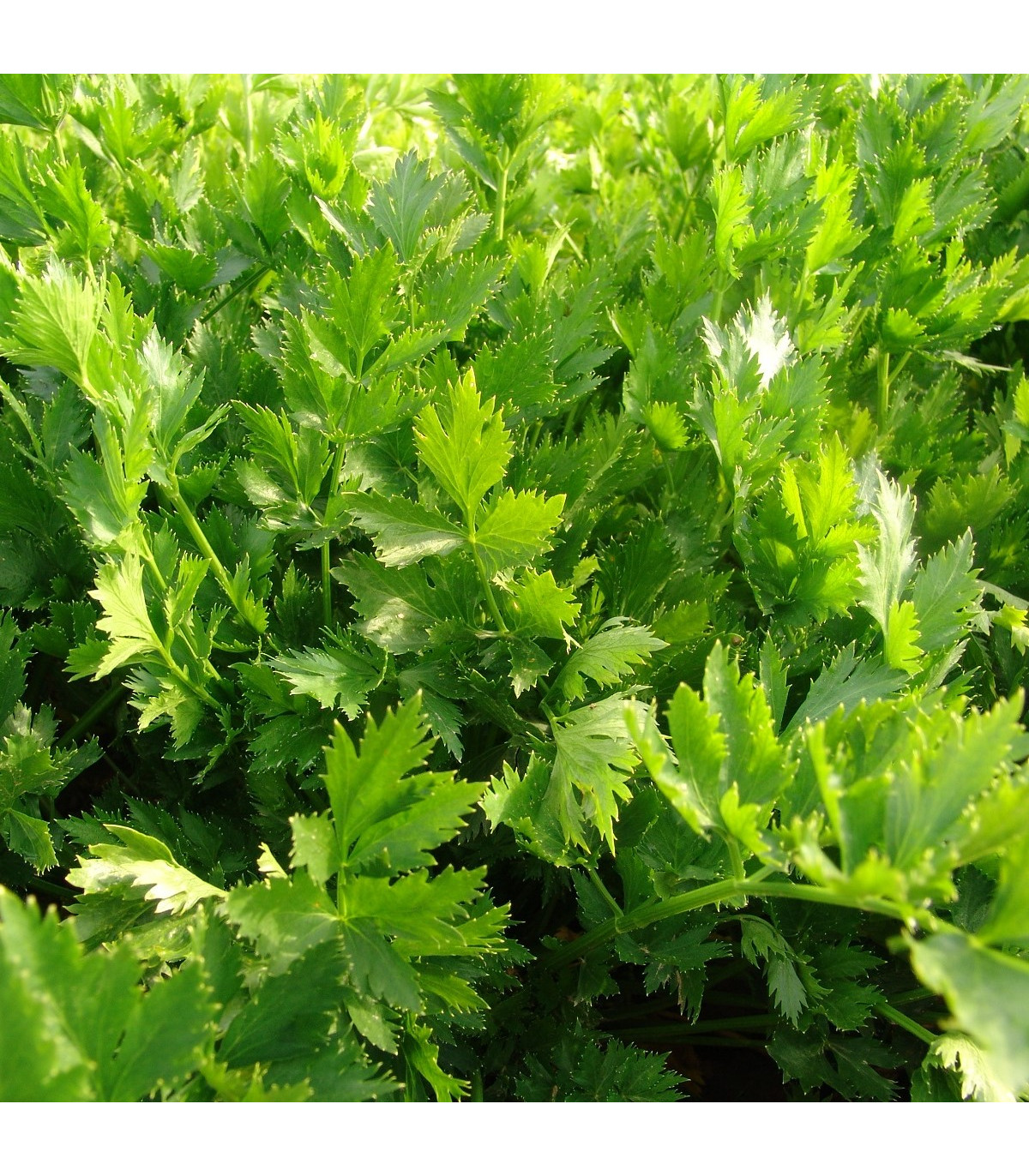 Celer listový jemný - Apium graveolens - osivo celeru - 1 g