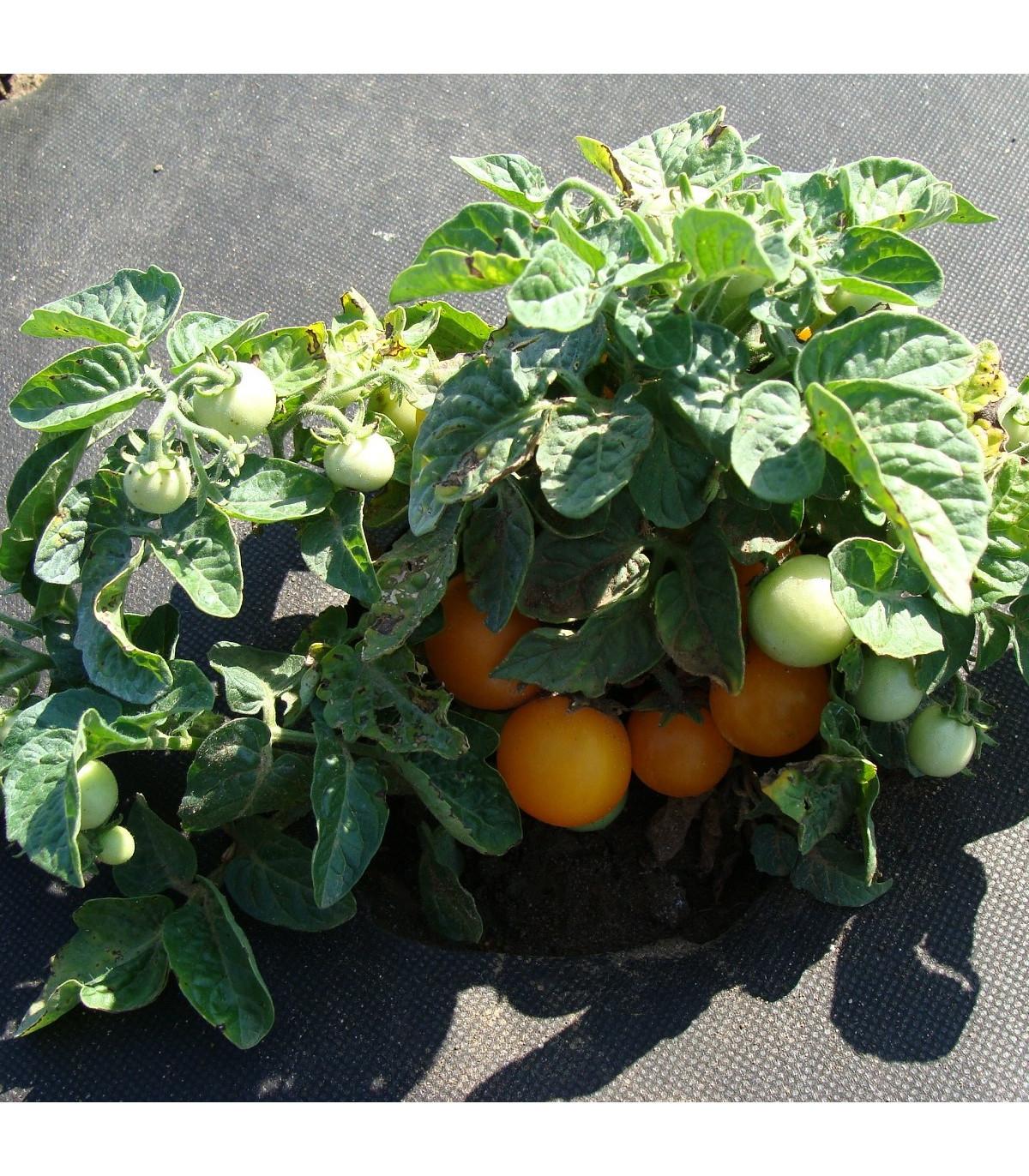 Rajče Venus - Lycopersicon esculentum - osivo rajčat - 10 ks