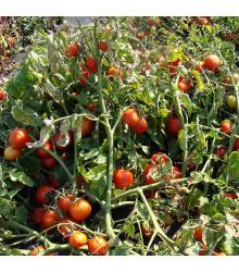 Rajče Dalimil - Lycopersicon lycopersicum - osivo rajčat - 0,1 g