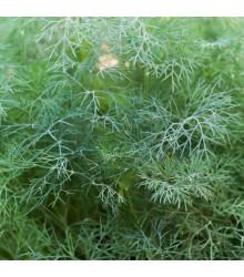 Kopr vonný Hanák - Anethum graveolens - semena kopru - 500 ks
