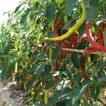 Paprika kozí/beraní roh Beros - Capsicum annuum - osivo paprik - 15 ks