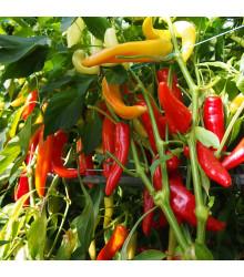 Paprika kozí/beraní roh Harriet - Capsicum annuum - osivo papriky - 45 ks