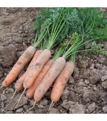 Mrkev raná Stupická - Daucus carota - osivo mrkve - 1 500 ks