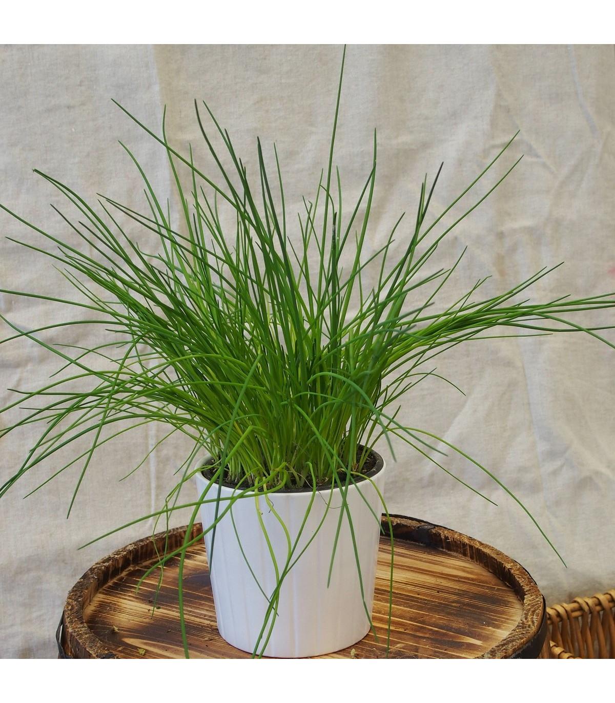 Pažitka pražská - Allium schoenoprasum L. - osivo pažitky - 750 ks