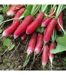 Ředkvička Slovana - Raphanus sativus - osivo ředkvičky - 300 ks