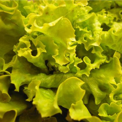 Salát hlávkový Maikönig - Lactuca sativa - osivo salátu - 800 ks
