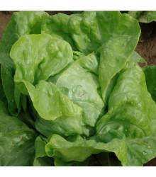 Salát hlávkový raný Amur - Lactuca sativa - osivo salátu - 500 ks
