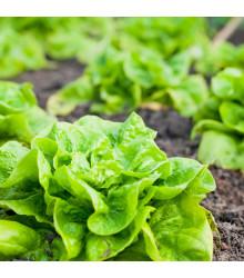 Salát hlávkový celoroční Lento - Lactuca sativa - osivo salátu - 500 ks