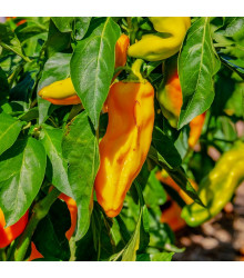 Paprika oranžová Ornela - Capsicum annuum - osivo papriky - 50 ks