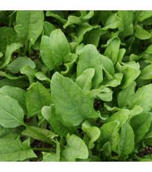 Špenát setý Matador - Spinacia oleracea - osivo špenátu - 60 ks