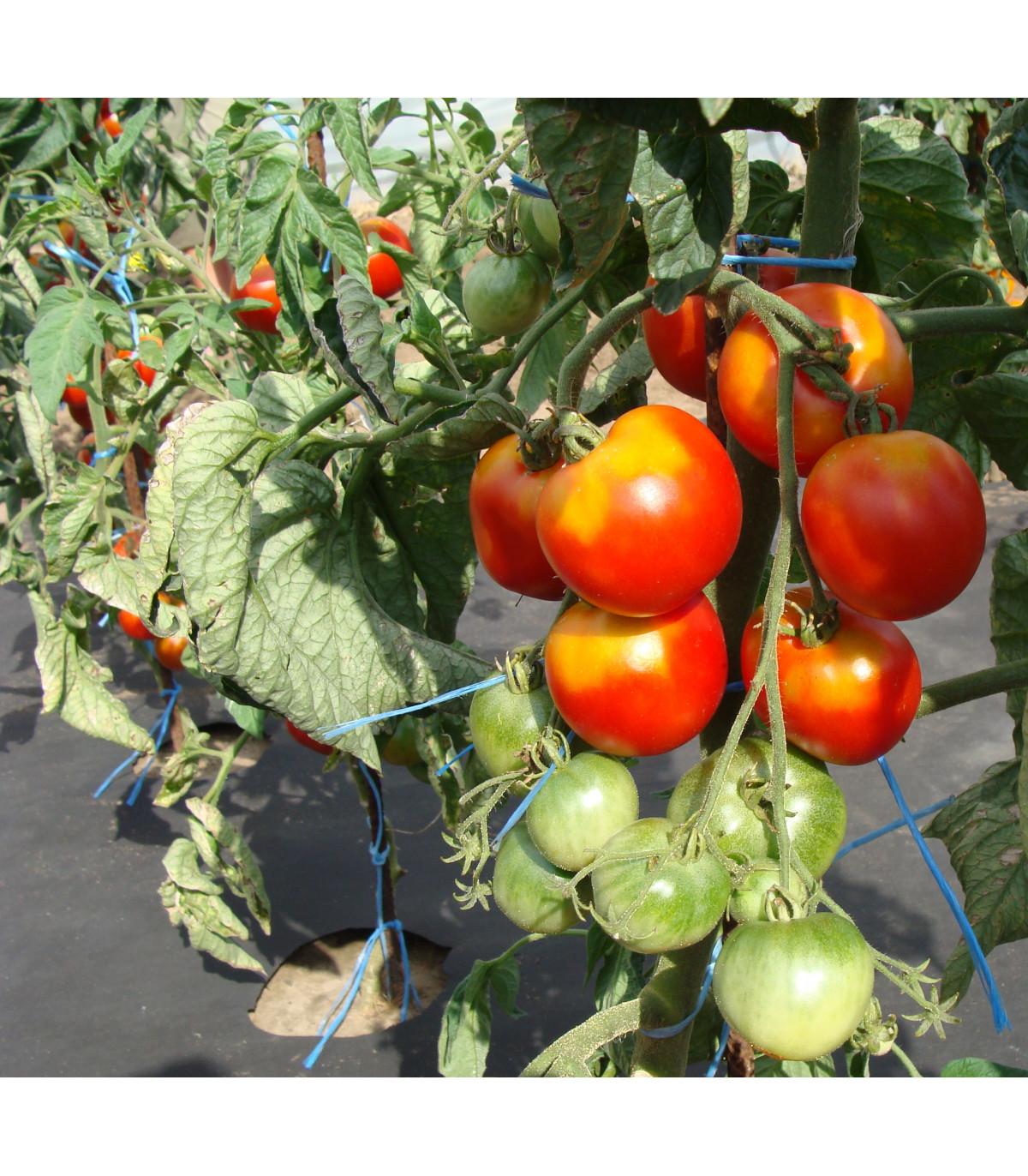 Rajče stupické polní rané - Lycopersicon Lycopersicum - osivo rajčat - 35 ks