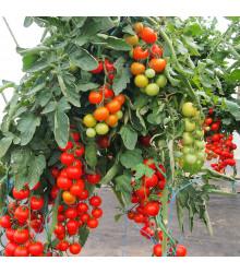 Rajče Gallant F1 - Solanum lycopersicum - osivo rajčat - 10 ks