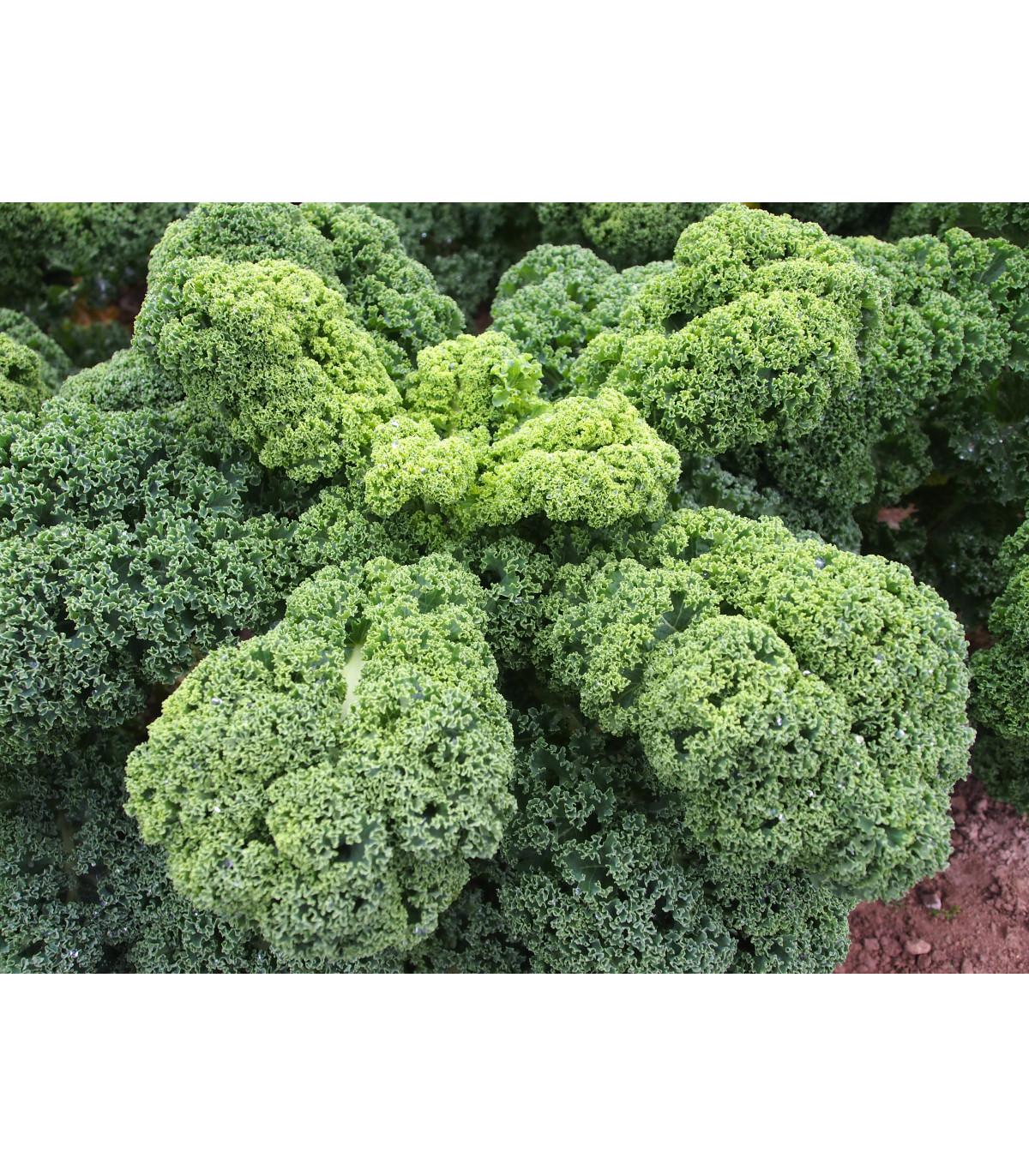 Kadeřávek Husar - Brassica oleracea L. - semena kadeřávku - 140 ks