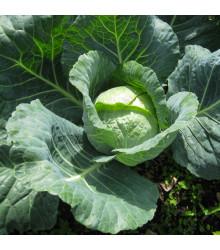 Zelí hlávkové pozdní Holt - Brassica oleracea - osivo zelí - 200 ks