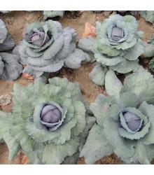 Zelí Rufus - Brassica oleracea - osivo zelí - 150 ks